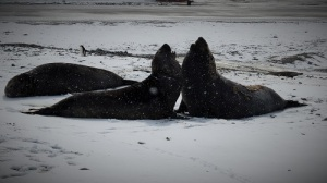 To store elefantsel sitter mot hverandre.