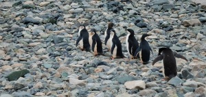 Seks pingviner går på steinsatt strand.