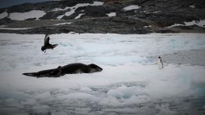 En leopardsel ligger i bukta på et isflak, mens en adelie-pingvin går foran nesen på den. Leopardselen spiser pingviner, så dette så farlig ut. To skuaer ser vi også på isflaket.