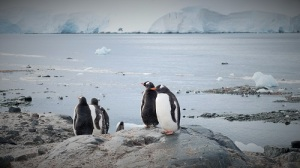 Fire pingviner ser ut over sjøen, bryr seg ikke det minst om å ha fått besøk.