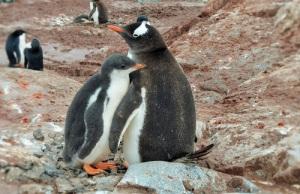 En pingvinunge står inntil en av foreldrene. Den voksne pingvinen har vingen rundt barnet,