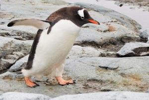 Gentoo-pingvin med vingene ute  og hodet litt framoverbøyd.