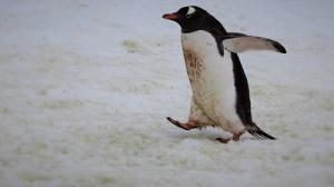 Gentoo-pingvin går med vingene ute.
