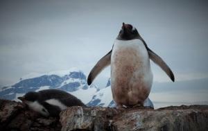 En pingvin står med begge vingene ute. Vi ser han forfra. Til venstre ligger en unge og sover.