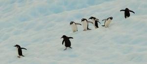 En gjeng ungpingviner sklir på isen på vei fra et isflak ned til sjøen.