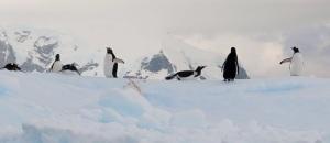 Seks pingviner på et hvitt isflak.