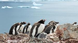En rekke pingviner sitter på redene sine. Den ene ser vi ungene som små grå nøster.