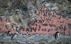 Koloni av pinginer i fjellside. Rundt pingvinene er det rosa av avføring fra kolonien av pingviner.