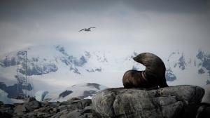 En sel sitter på en stein. Det er hvite fjell bak og på himmelen flyr en måke, mens vi ser en seilbåt i bakgrunnen.