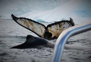To knølhvaler på jakt etter mat, like ved den lille båten vi sitter i. Et magisk syn.