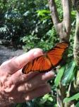 Oransje og svart sommerfugl.