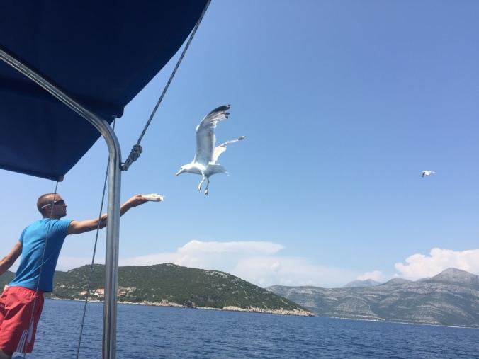 måker som flyger  etter en båt